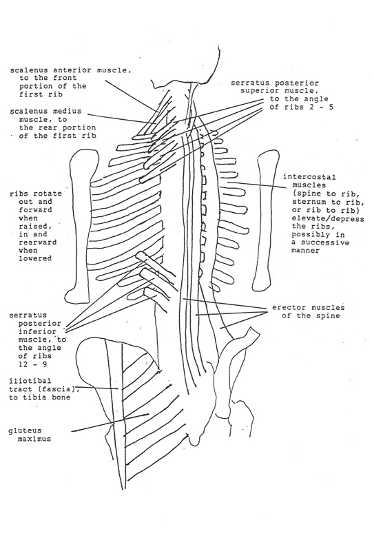 Ribs, Spine, Pelvis, and Sacrum